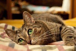 Коричневая моча у кота - причины и что делать