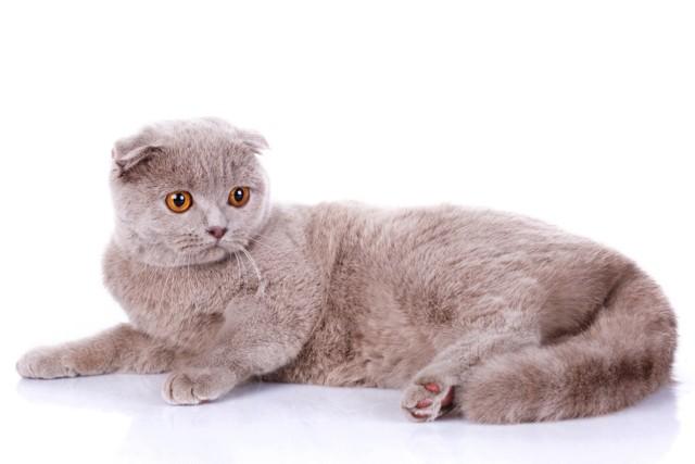 Как определить вислоухий котенок или нет