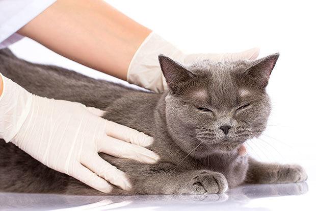 Низорал для кошек: инструкция по применению