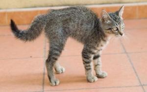 9 причин почему у кота болит лапа - симптомы, лечение