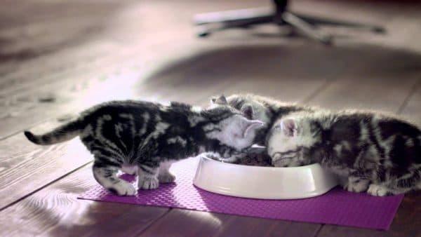 Корм Вискас - вреден ли для кошек, состав