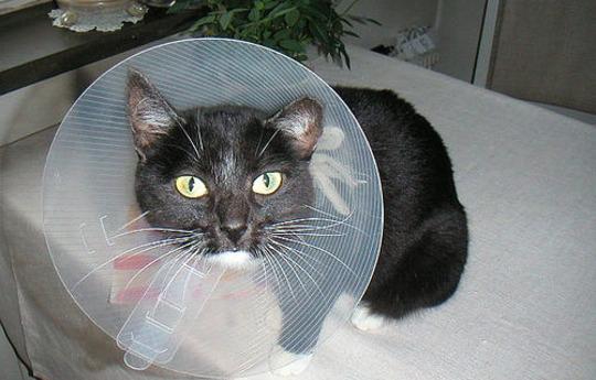 Нужно ли кастрировать кота и когда