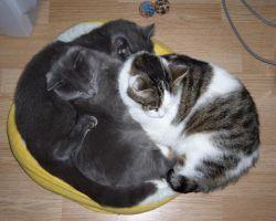 Цестал для кошек - инструкция по применению препарата