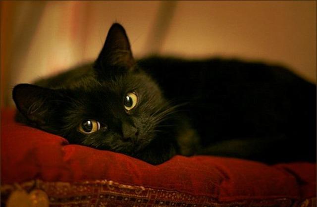Черная кошка в доме: это хорошо или плохо