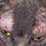 Демодекоз у кошек - симптомы, лечение, профилактика и диагностика