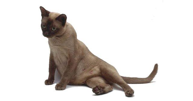 Кошка после родов беспокойная и мяукает