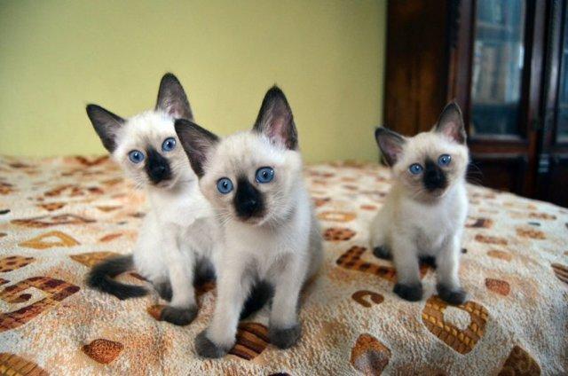 Тайская кошка - характер породы и описание