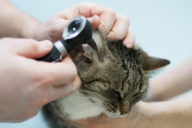 Кошка чешет уши - причины и что делать
