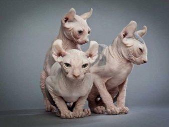 Породы кошек которые не линяют - список и описание