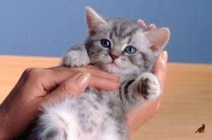 Как приучить котенка к рукам - основные правила