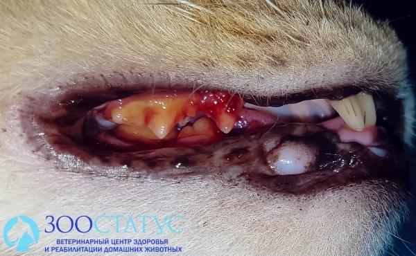 Сломался зуб у кошки - причины, симптомы и лечение
