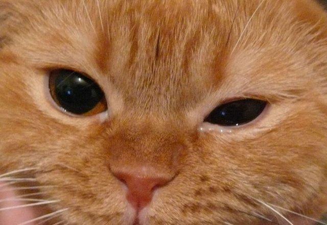 6 симптомов конъюнктивита у кошки – чем лечить и диагностика