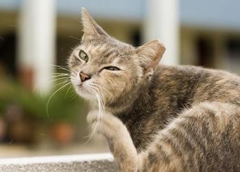 Кошка качает головой: почему и что делать