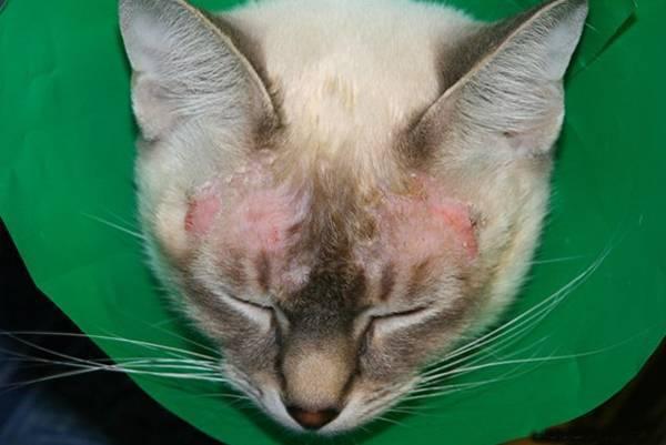 Красные пятна на ушах у кошки - причины