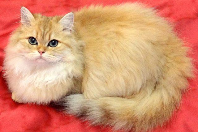 Кошка с длинными лапами - фото название и описание породы