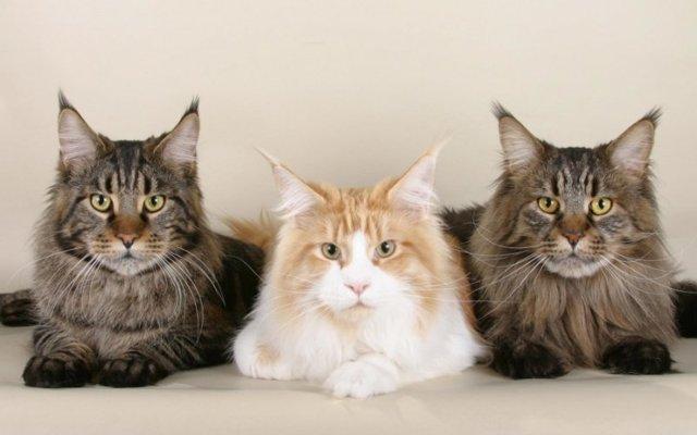 Кошки крысоловы - 5 пород, описание и фото