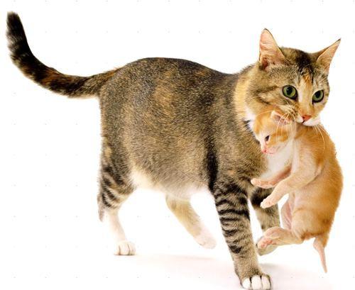 Почему кошка кусает своих котят