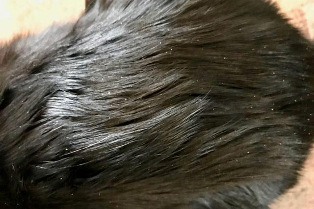 Перхоть у кошек - причины и способы лечение