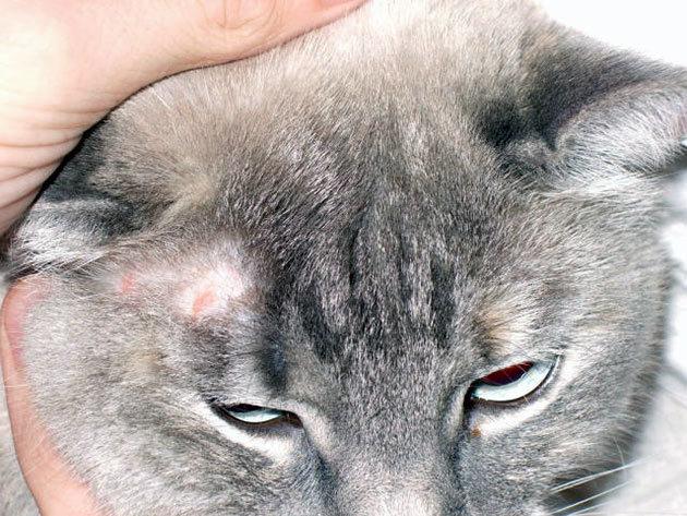 Как определить лишай у кошки и чем лечить