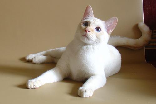 10 окрас тайских кошек - фото и название