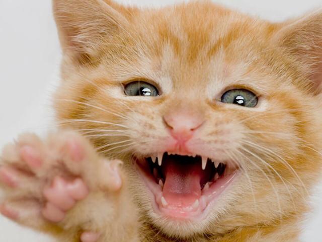 Сколько зубов у взрослой кошки