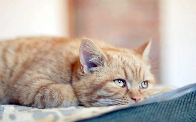 Глюкозамин для кошек: инструкция по применению