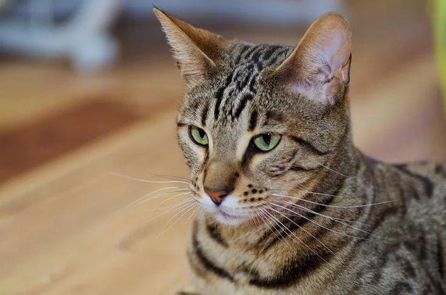 Самая сильная кошка в мире - топ 10
