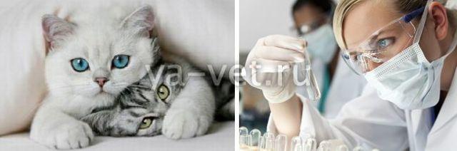 Альбумин у кошек понижен или повышен - что делать