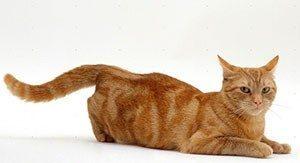 Можно ли стерилизовать кошку во время течки или нет