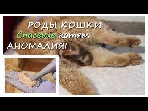 Может ли кошка родить одного котенка
