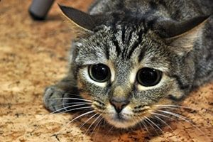 Строение лапы кошки - анатомия лапы