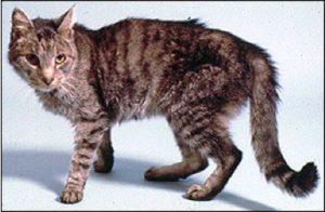Гипертиреоз у кошек - симптомы, лечение, диагностика