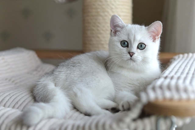 Серебристая шиншилла кошка - описание, фото и характер породы