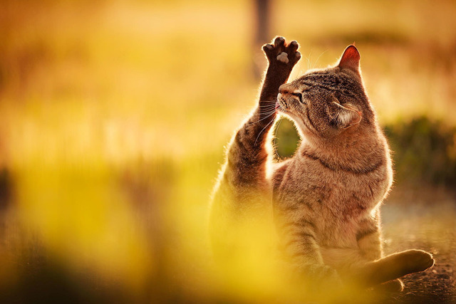 Как лечить акне у кошки на подбородке?