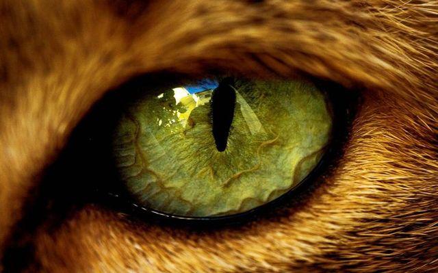 Глаза кошки - строение, анатомия, фото