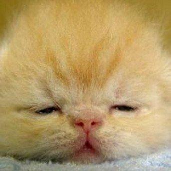 Третье веко у кошки - лечение в домашних условиях