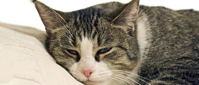 Метастазы в лёгких кошки - симптомы и лечение