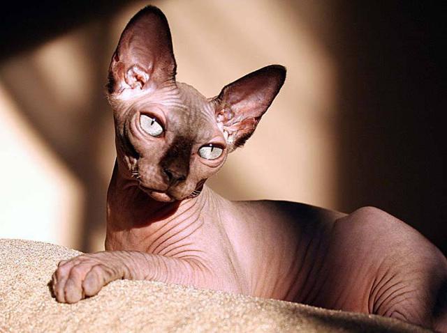 Кошки без подшерстка - список и описание пород