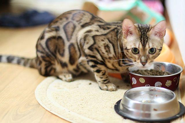 5 причин почему кот много пьет воды - заболевания и лечение