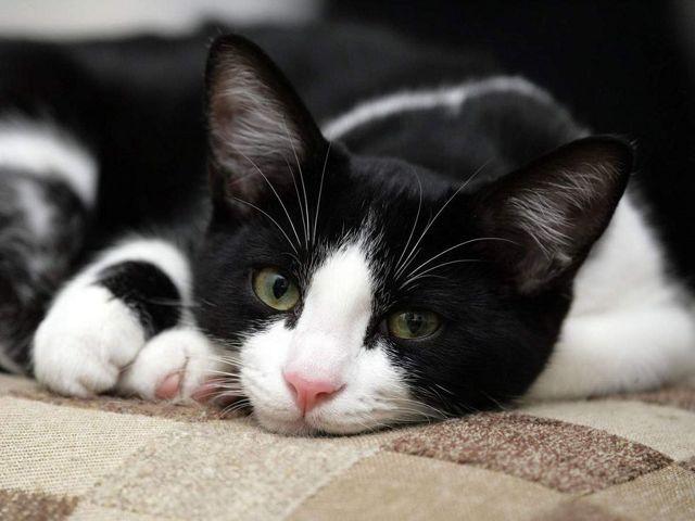 7 симптомов кальцевирусной инфекции у кошек - как лечить