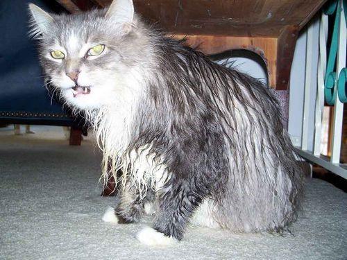 Прививка от бешенства кошке - как и когда делать?