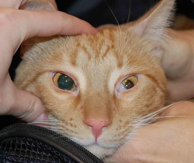 Разные зрачки у кошки по размеру - причины
