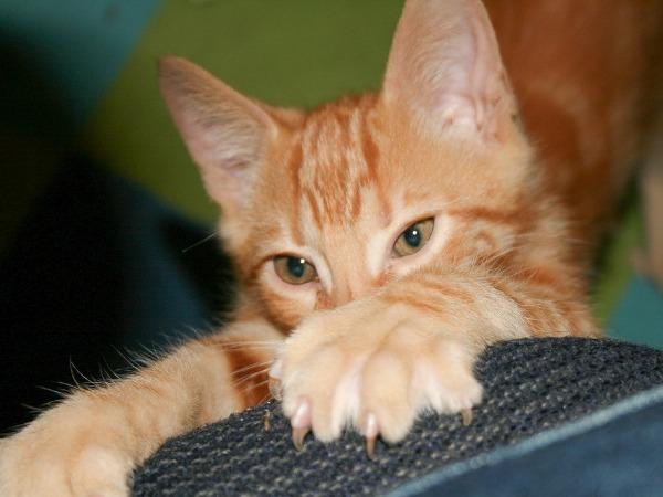 Как правильно подстричь когти котенку в домашних условиях