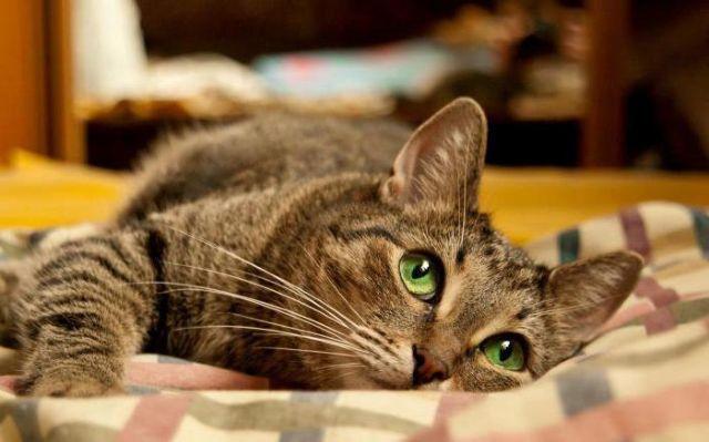 7 причин панкреатита у кошек - симптомы и лечение