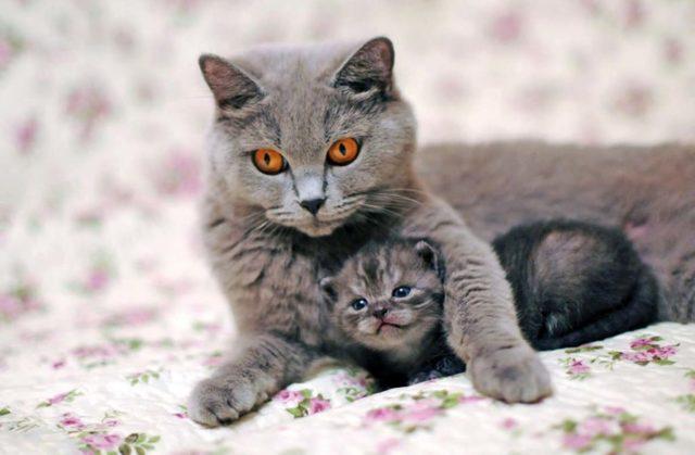 Как рожают кошки - когда наступают роды