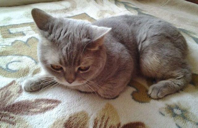 4 причины почему кот не встаёт на задние лапы - как лечить