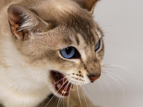 Почему кот чихает - причины и лечение