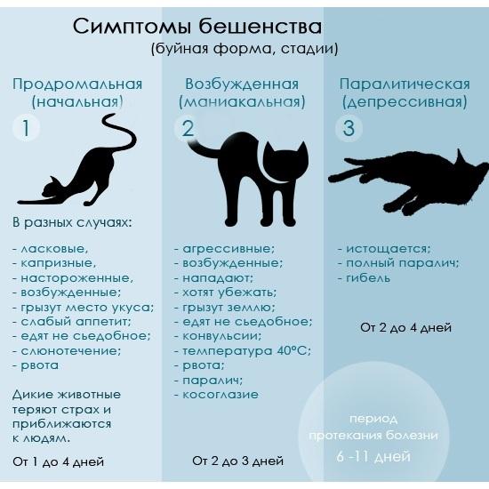 Бешенство у кошек - как передается, можно ли заразится человеку?