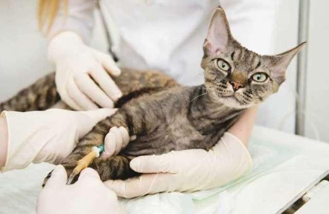 Кальцивироз у кошек: причины, симптомы, лечение