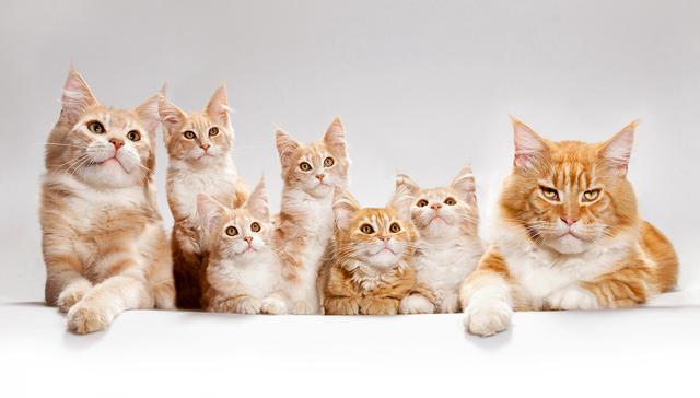 Сколько групп крови у кошек